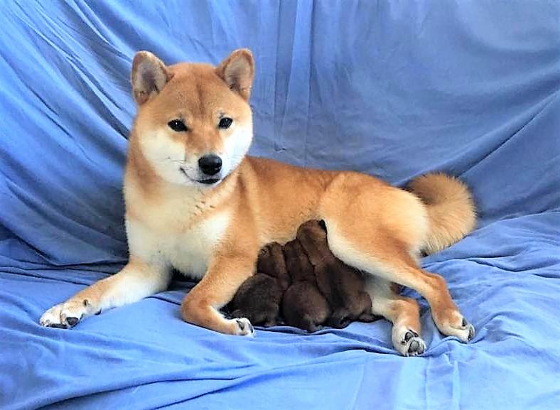Питомник «KHANAGATA UMARI» щенки от пары AWA NO RIKIOU GO ASHUU OOTANISOU (Japan) & KHANAGATA UMARI GINREIHANA.  д/р 16/04/2019 регистрация NIPPO&FCI  57485610