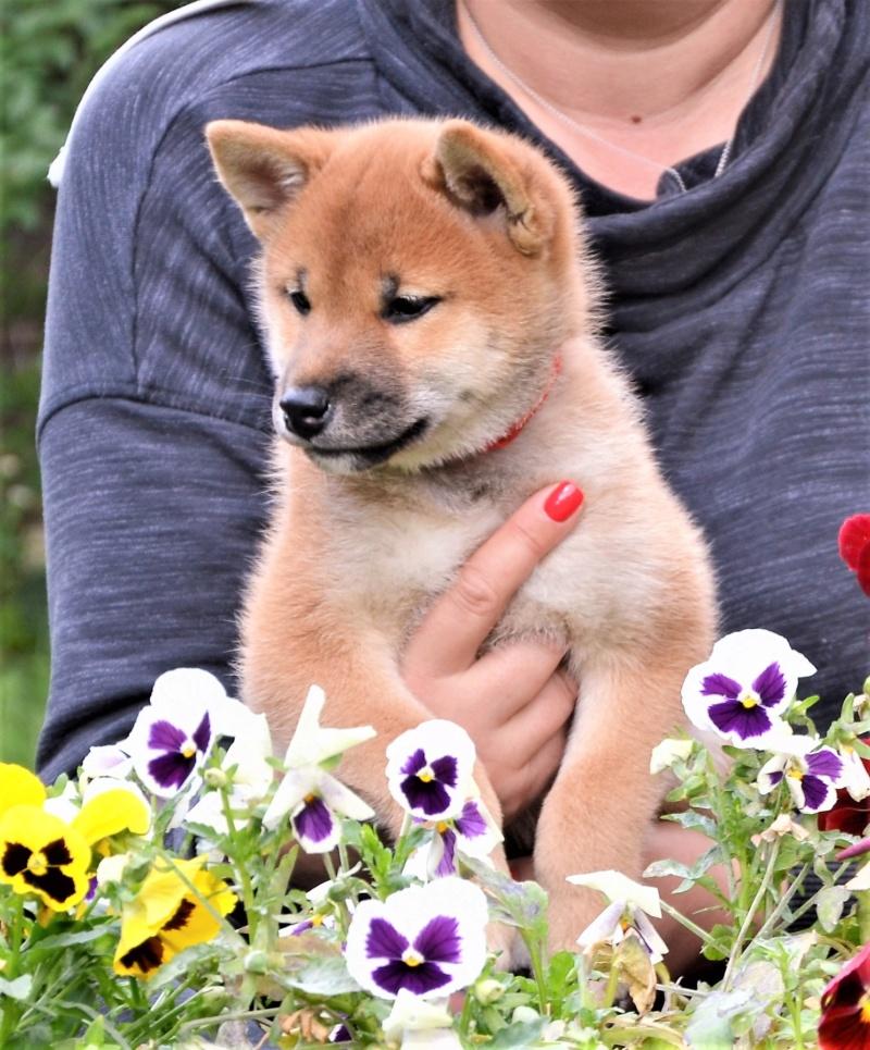 21/05/2019 Питомник «KHANAGATA UMARI» щенки от пары AKATSUKI ASAHIMARU & FUDZISAN BENITENKA (Москва) Aaa11