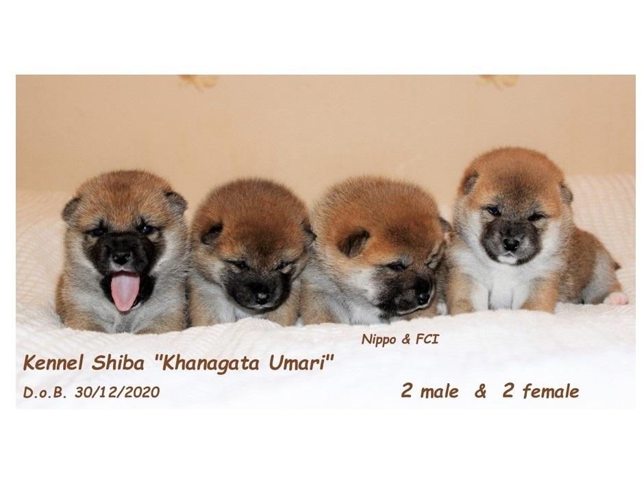 30/12/2020 Питомник «KHANAGATA UMARI» щенки от пары BAN NO AOI REIROU GO SHISHIBONE SAKAMOTOSOU (Japan) & AKATSUKI ASAHIHANA KHANAGATA UMARI регистрация NIPPO&FCI Aaau110