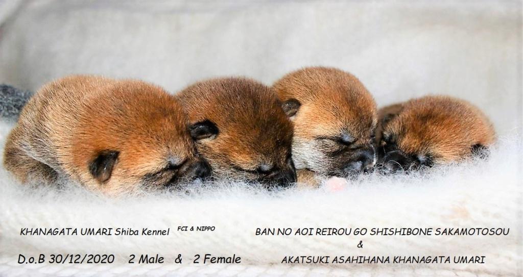 30/12/2020 Питомник «KHANAGATA UMARI» щенки от пары BAN NO AOI REIROU GO SHISHIBONE SAKAMOTOSOU (Japan) & AKATSUKI ASAHIHANA KHANAGATA UMARI регистрация NIPPO&FCI Img-2013