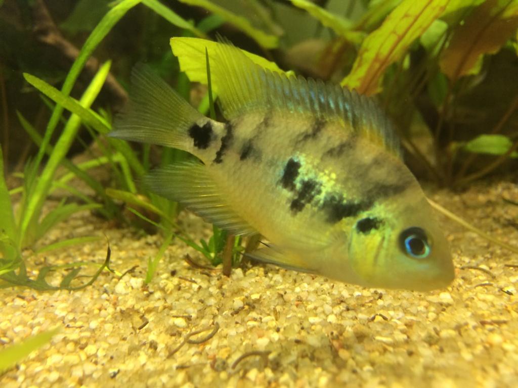 Marque rouge nageoire A.altoflava 4d519810