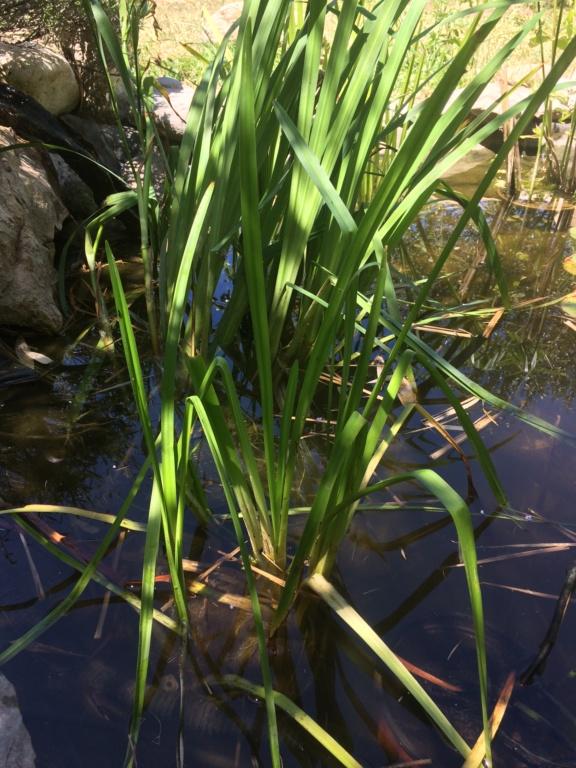 plantes de bassin en aquarium ? A875ed10