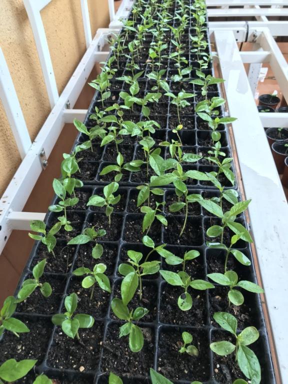 plantones de MACLURA - ORANGE OSAGE Foto_216