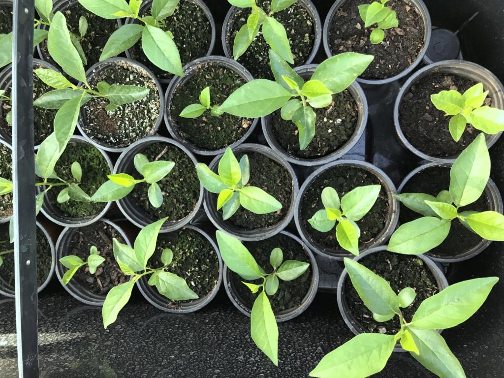 plantones de MACLURA - ORANGE OSAGE Foto_218