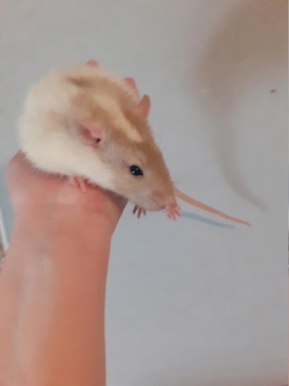 Quel est la couleur de mes rats. 20200513