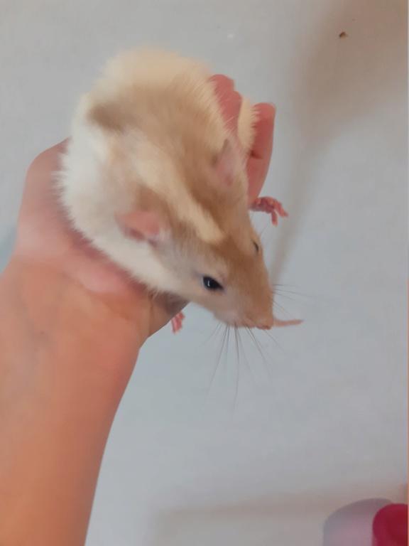 Quel est la couleur de mes rats. 20200514