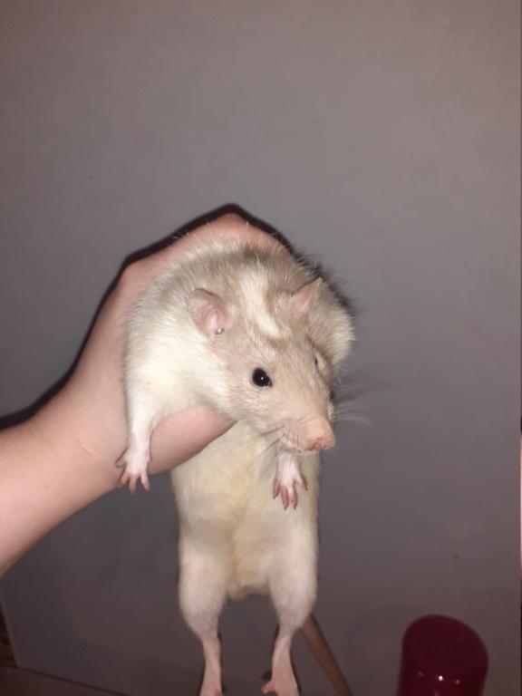 Quel est la couleur de mes rats. 20200516