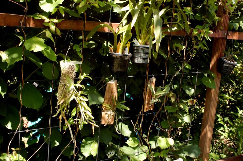 Meine Orchideen im Sommerurlaub Dsc_0010
