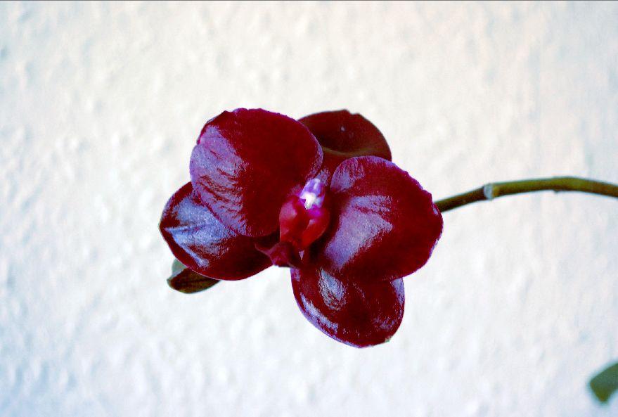 """Phalaenopsis """"Sogo Grape"""" Phal_s11"""