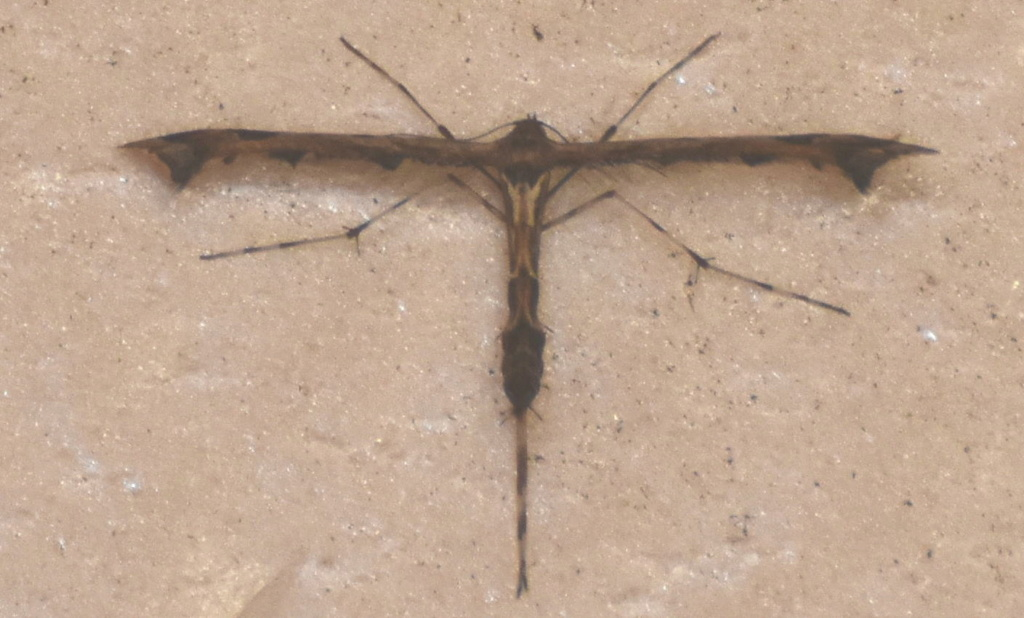 pterophoridae inconnu Dsc_in13