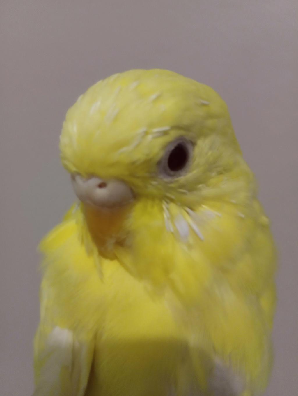 Opale, jeune perruche de 8 mois Db9c3e10