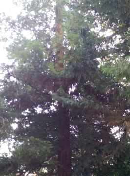 Sequoia - redwood 112