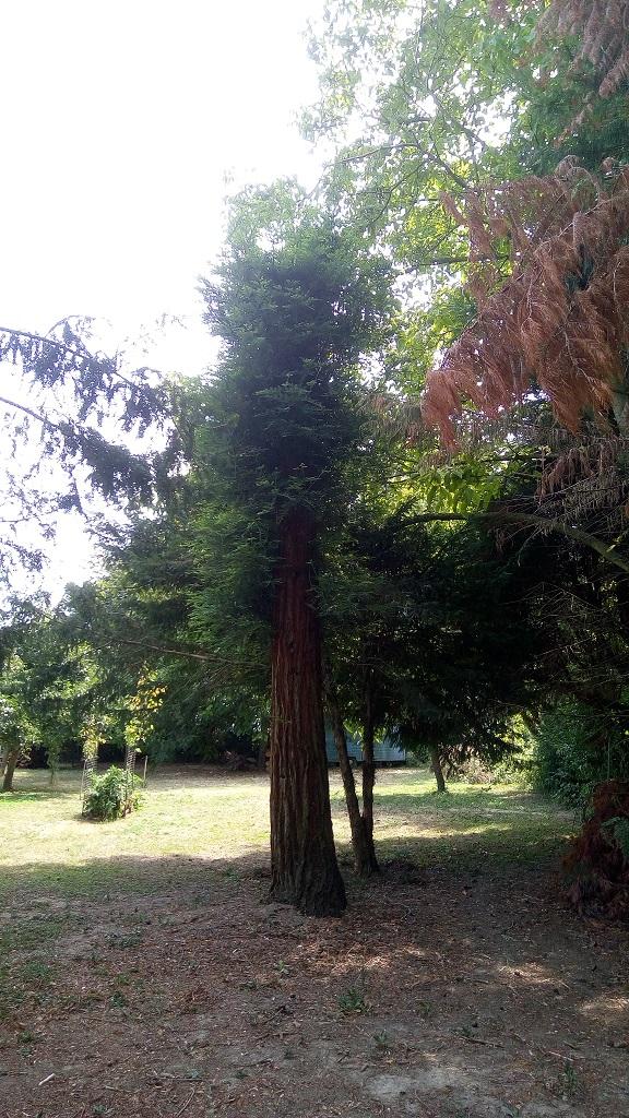 Sequoia - redwood 313