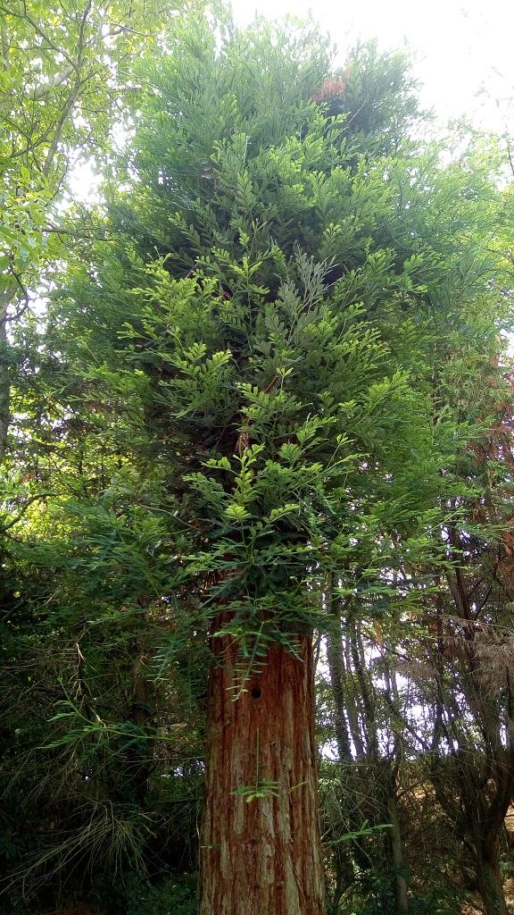 Sequoia - redwood 411