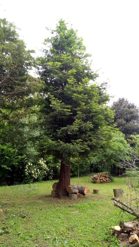 Sequoia - redwood 512