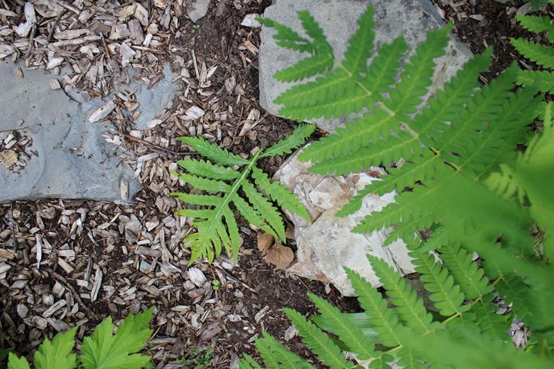 Une fougère à identifier trouvé (Osmonde de Clayton Osmunda claytoniana) 12_jui12