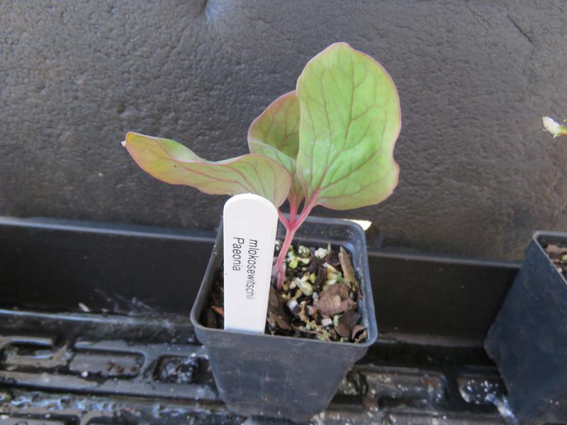 Paeonia mlokosewitschii Alpine16