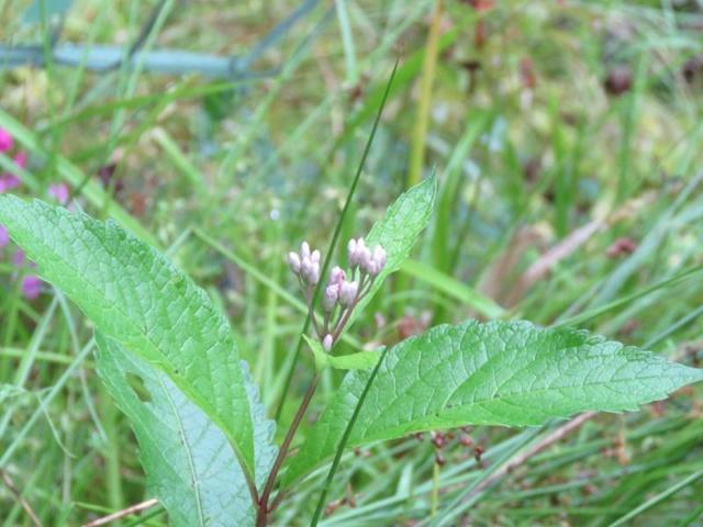 Les fleurs chez Pinco - Page 17 Asclep12