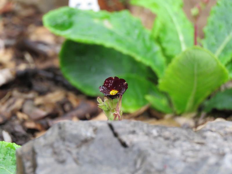 Semis de Primula - Page 26 Pumila10