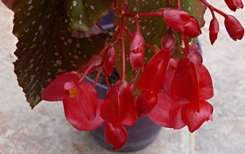 est-ce un  maculata[Begonia Lucerna] 001_3615