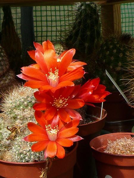 La floraison des cactus,  ça commence ! P1170310