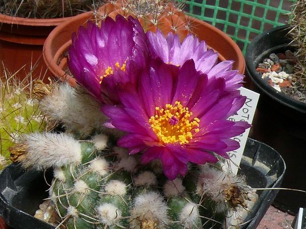 La floraison des cactus,  ça commence ! P1170312