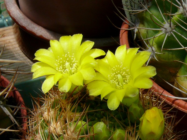 La floraison des cactus,  ça commence ! P1170314