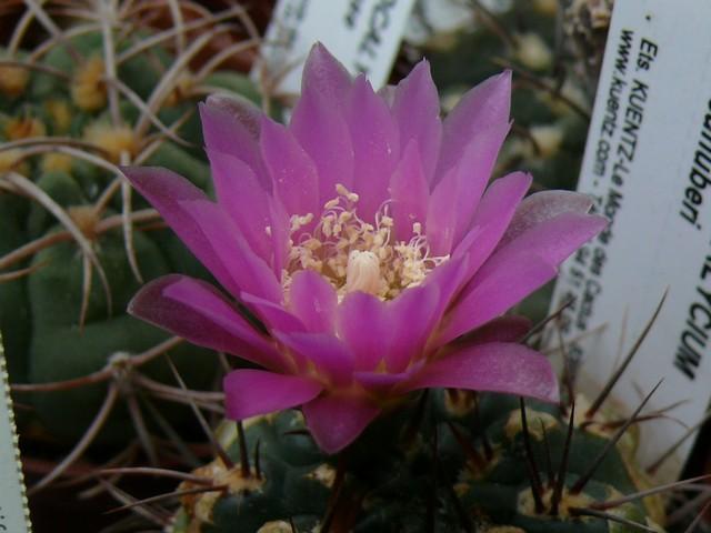 La floraison des cactus,  ça commence ! P1180010