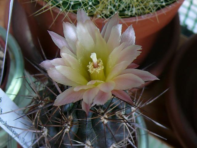 La floraison des cactus,  ça commence ! - Page 2 P1180314