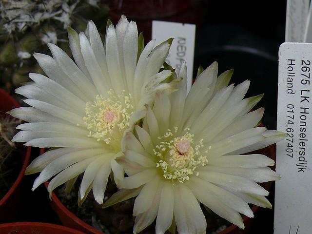 La floraison des cactus,  ça commence ! - Page 2 P1180315