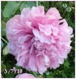 Mes fleurs en ce moment  Pavot_10