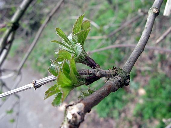 Sureau noir, Sambucus nigra Bourge10