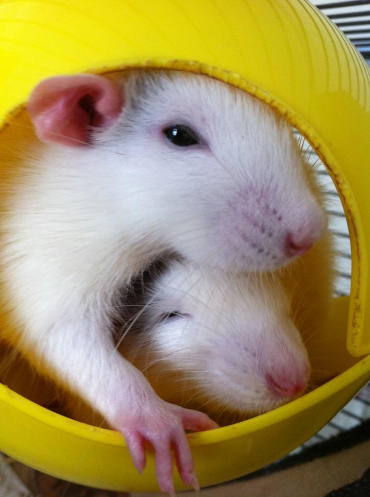 Rats & Ratons domestiques en pleine avenue - Page 37 Bro210