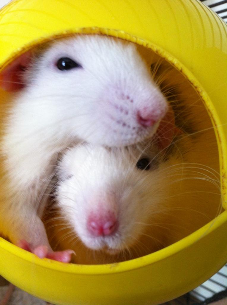 Rats & Ratons domestiques en pleine avenue - Page 37 Bro310