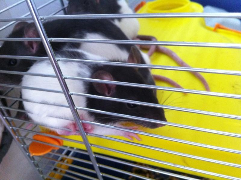 Rats & Ratons domestiques en pleine avenue - Page 37 Dalma10