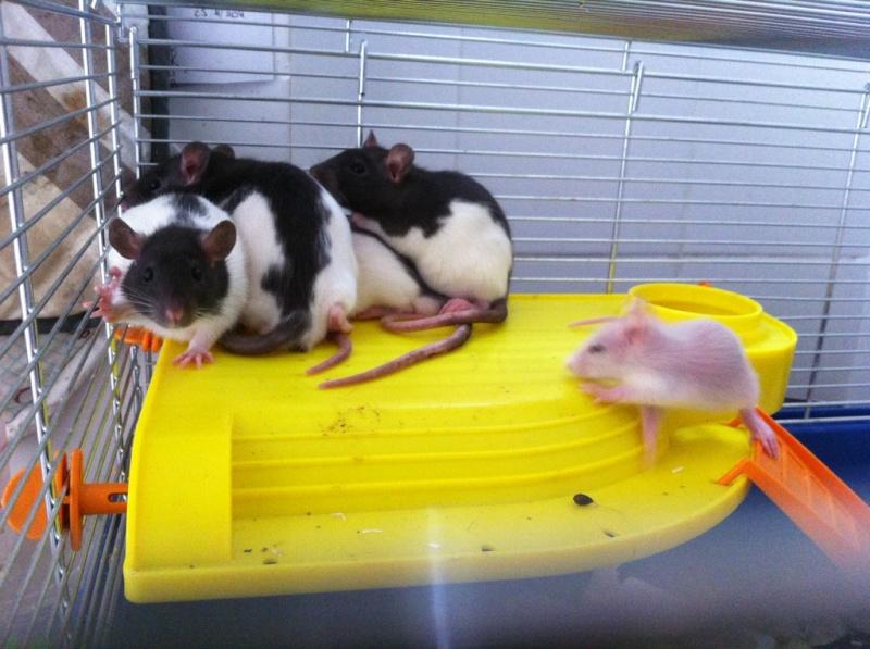 Rats & Ratons domestiques en pleine avenue - Page 37 Hooded10