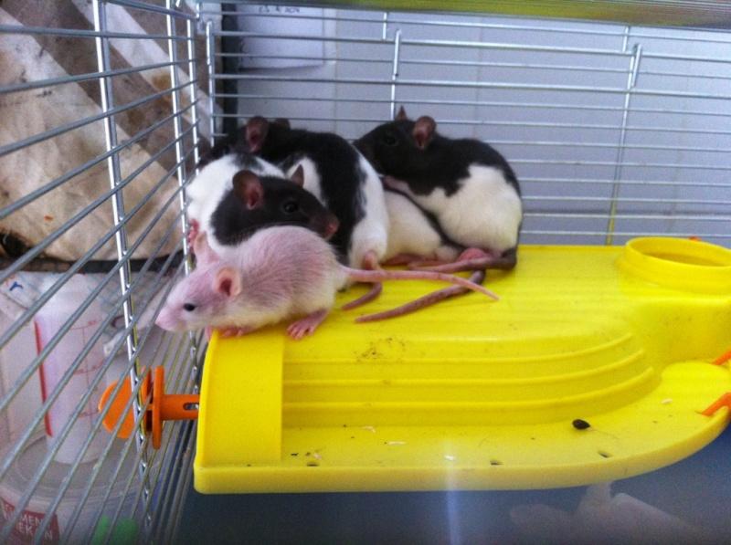 Rats & Ratons domestiques en pleine avenue - Page 37 Hooded11