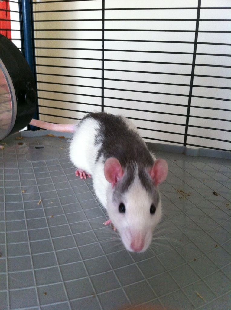 Rats & Ratons domestiques en pleine avenue - Page 37 Light310