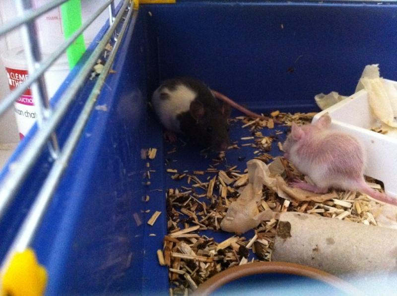 Rats & Ratons domestiques en pleine avenue - Page 37 Male210