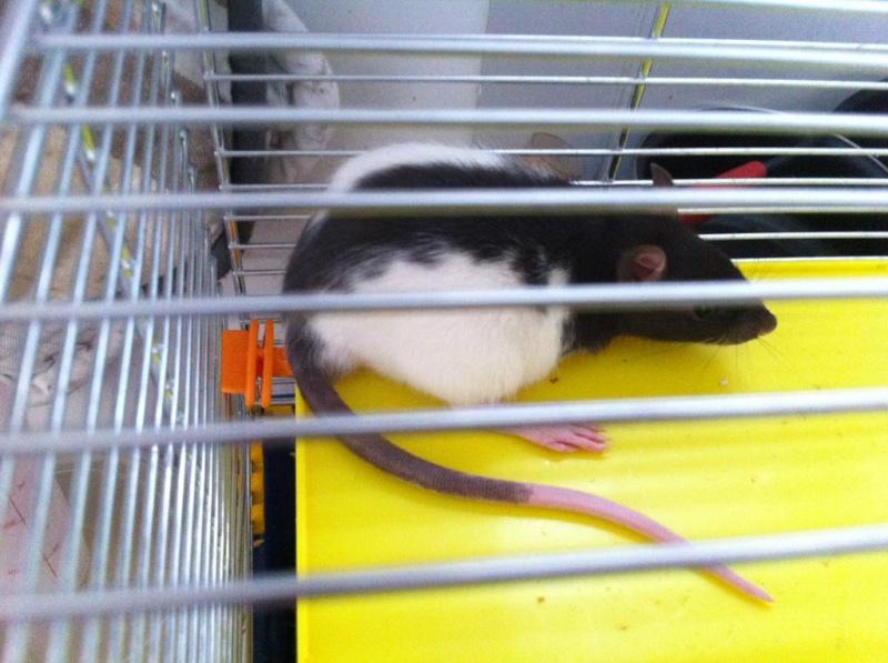 Rats & Ratons domestiques en pleine avenue - Page 37 Tuck11