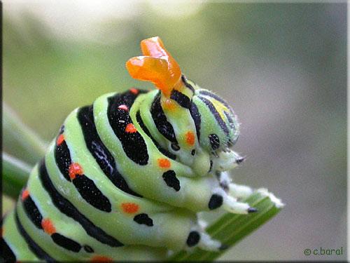 Famille des Papilionidae 06080810