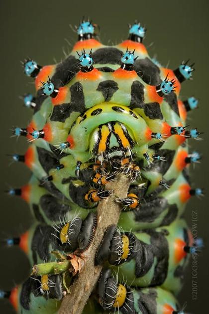 Famille des Saturniidae Callet10