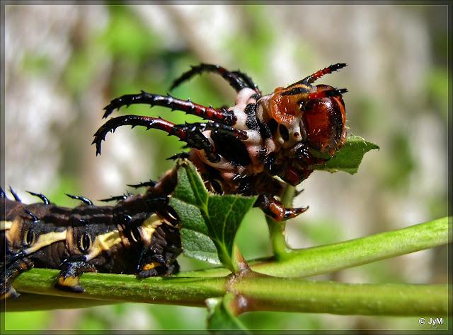Famille des Saturniidae Cither10