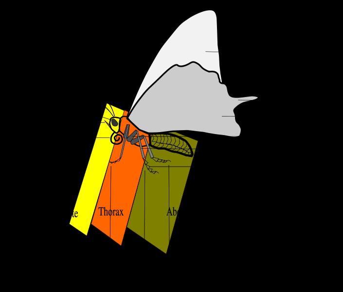 Ordre des Lépidoptères - Présentation générale Morpho10