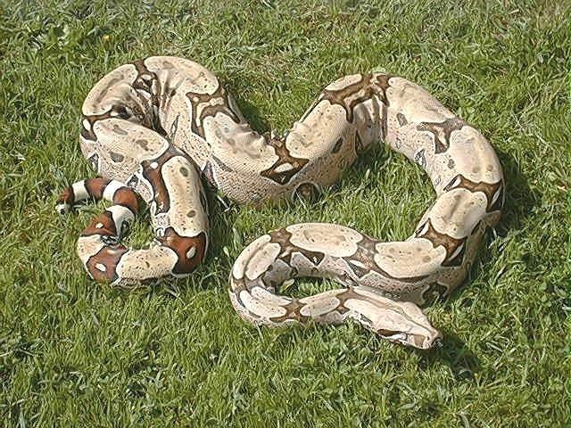 Les Boa constrictor.... Bresil11