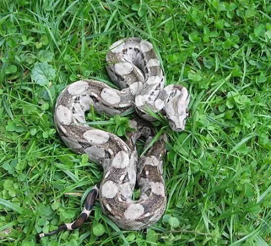 Les Boa constrictor.... Caulke10