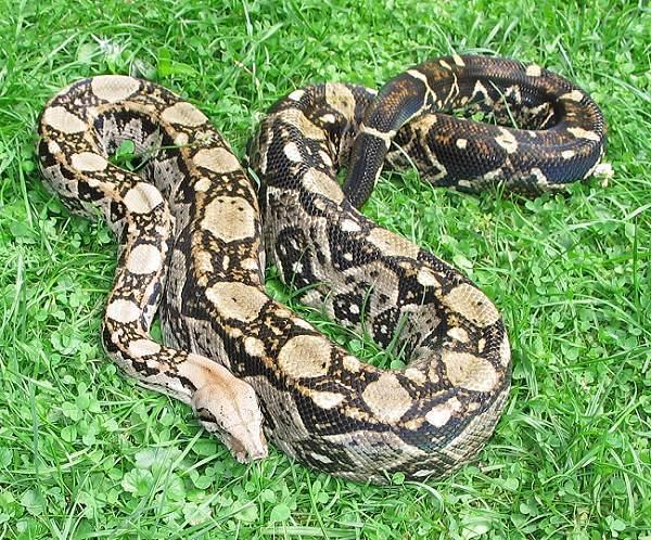 Les Boa constrictor.... Crawlc10