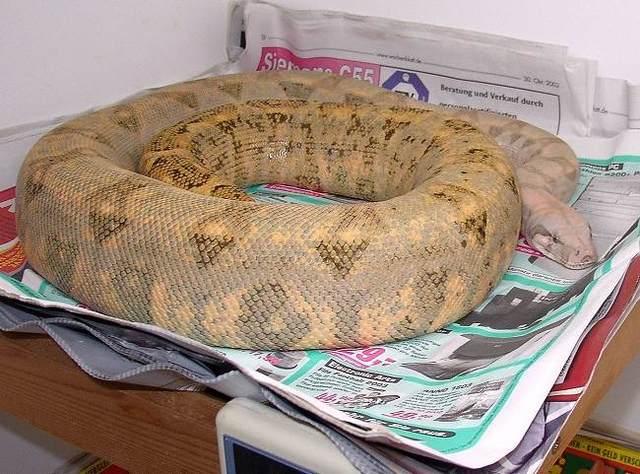 Les Boa constrictor.... Hoggis10