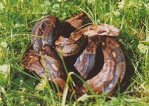 Les Boa constrictor.... Hondur10