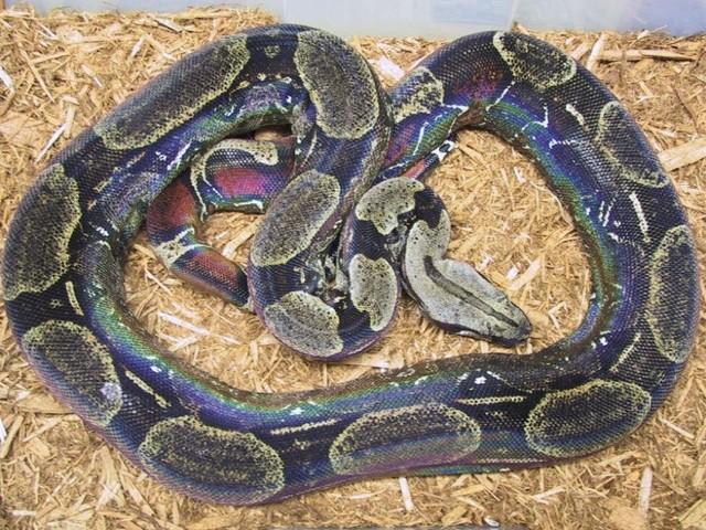 Les Boa constrictor.... Melano10